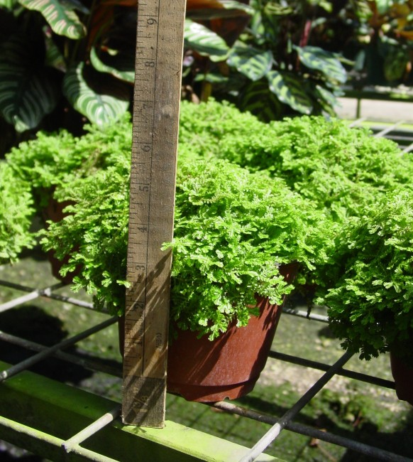 Selaginella kraussiana - Gold Tip Moss