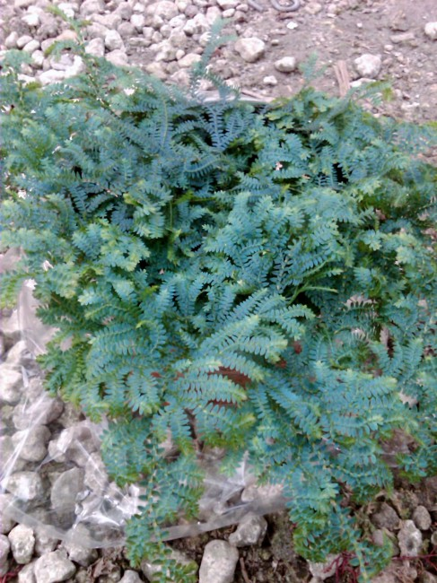 Selaginella uncinata 'Blue Peacock'