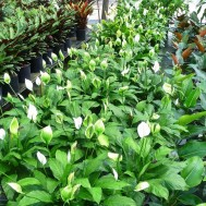 Spathiphyllum'Petite'