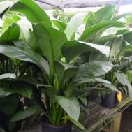 Spathiphyllum'Sensation'
