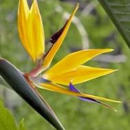 Strelitzia reginae'Gold Bird of Paradise'