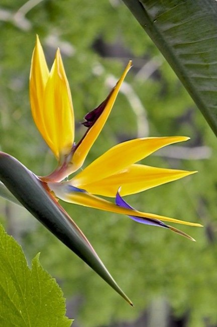 Strelitzia reginae 'Gold Bird of Paradise'