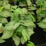SyngoniumAssorted Varieties