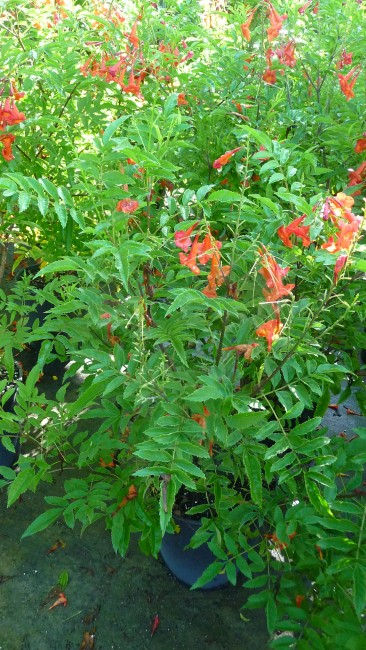 Tecoma Bells of Fire Orange