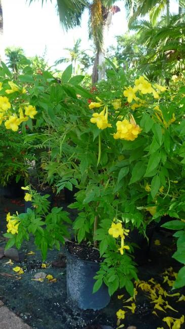 Tecoma lydia yellow 3g Assorted