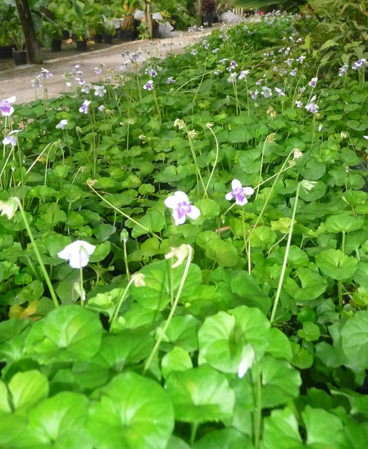Viola hederacea 'Australian Trailing Violet' (2)