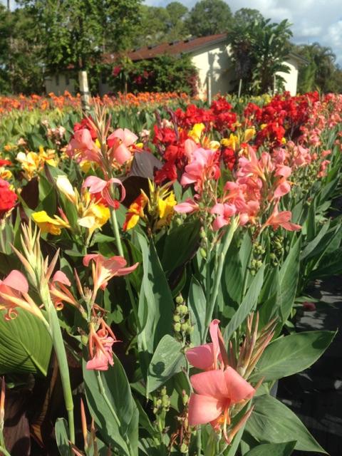 Canna lilys