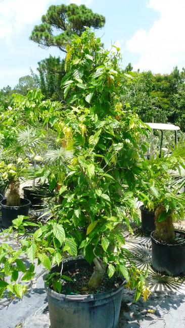 Cananga Odorata Fruticosa